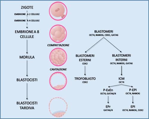 Le cellule staminali: dalla ricerca all'applicazione clinica